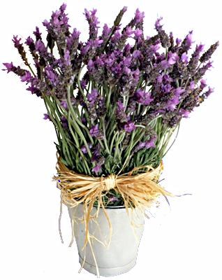 Flora Niche South Africa-Hmm.... Smell the Lavender-A Bucket of Lavendar